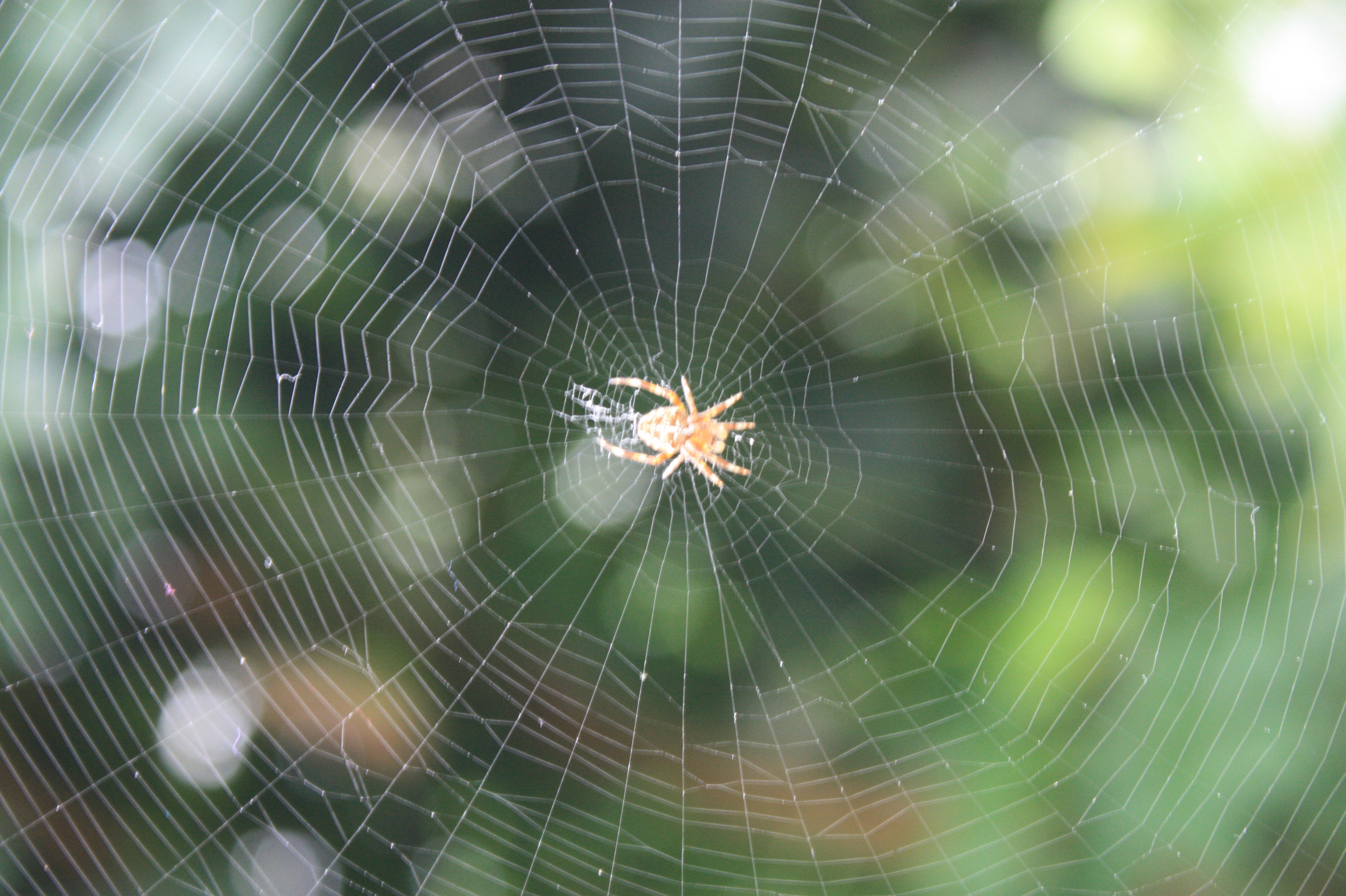 Small spider in a circular web
