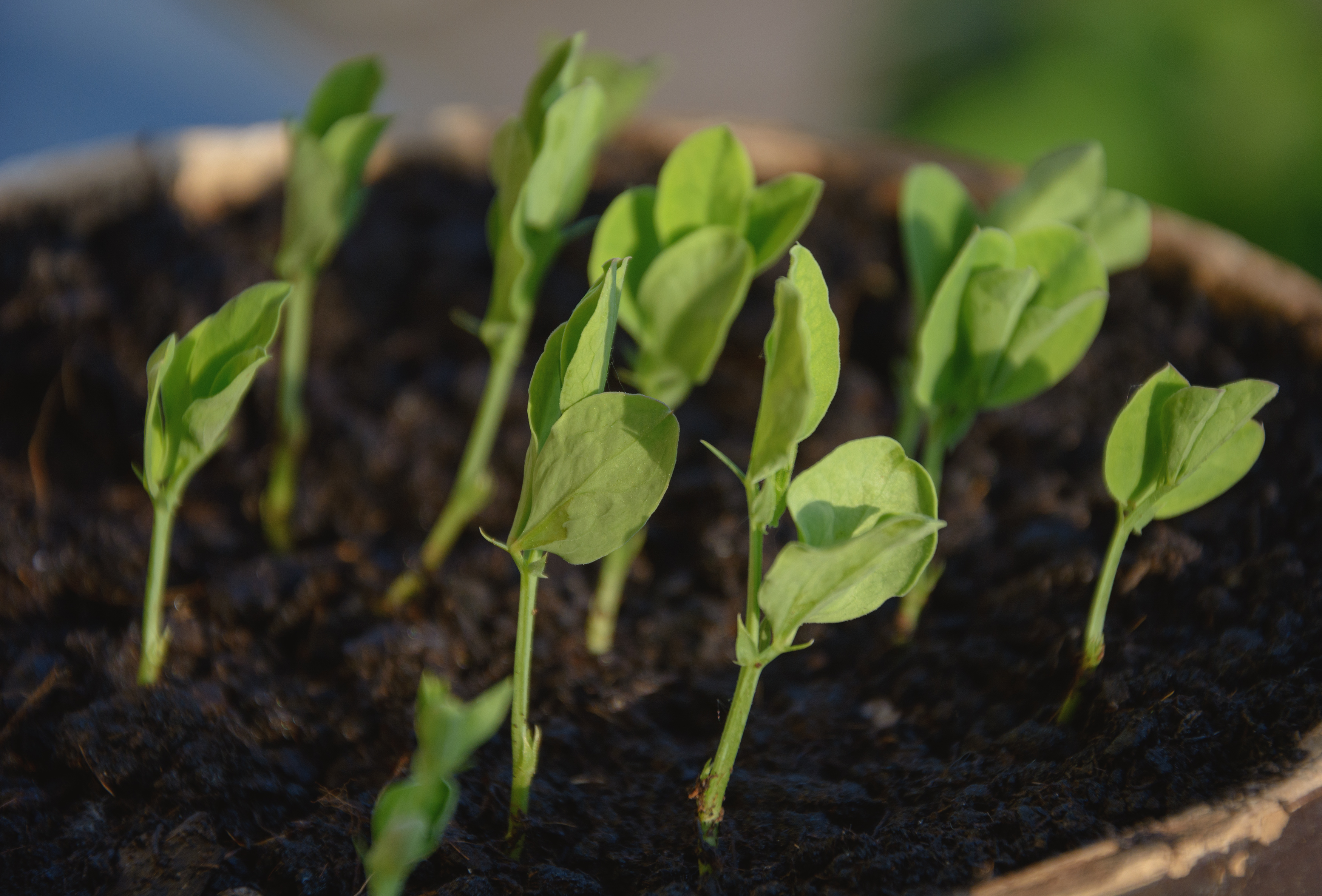 Young plant seedlings
