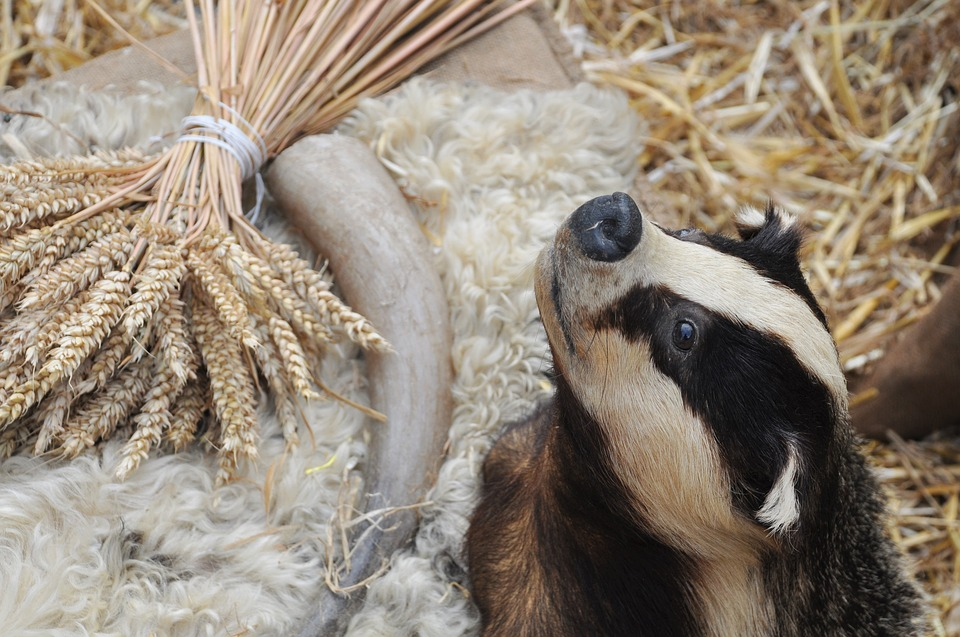 Taxidermy badger in artificially created natural surroundings