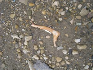 Jawbone of a large land-based mammal on a rocky beach