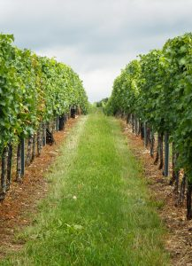 Vineyard with two rows of vines flanking a narrow path