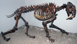 Fossilized Smilodon fatalis (saber-tooth cat)