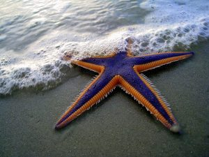 Purple and orange starfish on a sandy beach, partially covered by seawater